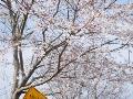 早咲き桜は!